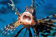 FWC plans 'Guardians' assault in lionfish fight