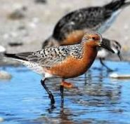 Mighty, and tiny, red knot receives federal protection